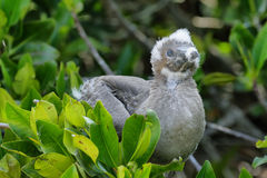Baby Red-footed Booby in Genovesa island Royalty Free Stock Photography