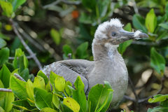 Baby Red-footed Booby in Genovesa island royalty free stock photo