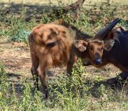 A baby red forest buffalo stock images