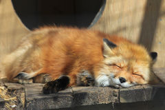 Baby red fox. Royalty Free Stock Photo