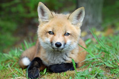 Baby Red Fox. Or 'Kit' laying down in the grass at the edge of the forest in New Hampshire Royalty Free Stock Photo