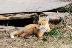 Baby Red Fox Kit near den stock photos
