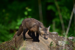 Baby red fox kit staring Royalty Free Stock Images