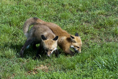 Baby Red Foxes Stock Photos