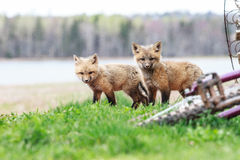 Baby red foxes Royalty Free Stock Photos