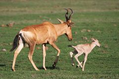 Baby Red Hartebeest Antelope Stock Image