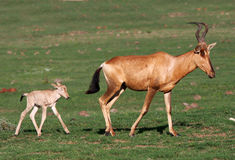 Baby Red Hartebeest Antelope Royalty Free Stock Photo