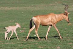 Baby Red Hartebeest Antelope and Mom Royalty Free Stock Images