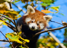 Baby red panda Stock Image