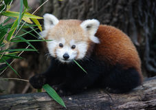 Baby red panda Royalty Free Stock Photos