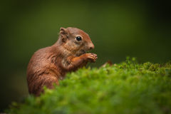 Baby Red Squirrel Stock Images