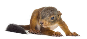Baby Red squirrel. In front of a white background stock photo