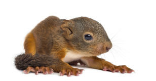 Baby Red squirrel. In front of a white background stock photography