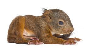 Baby Red squirrel. In front of a white background royalty free stock photo