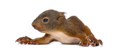 Baby Red squirrel. In front of a white background royalty free stock photos