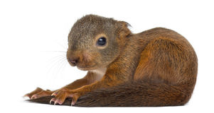 Baby Red squirrel. In front of a white background royalty free stock photography