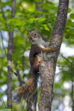 Baby Red Squirrel. (tamiasciurus hudsonicus )sitting in small tree, watching curious royalty free stock photography