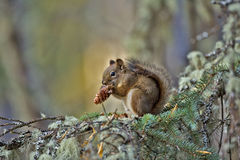 Baby Red Squirrel. In tree, feeding on cone seeds royalty free stock photos