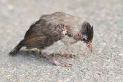 Baby Red-whiskered Bulbul Stock Image