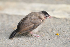 Baby Red-whiskered Bulbul Royalty Free Stock Photos