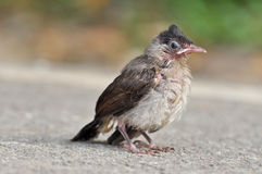 Baby Red-whiskered Bulbul Royalty Free Stock Images