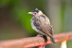 Baby Red-whiskered Bulbul Stock Photo