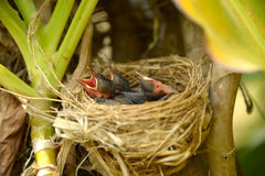 Baby red-whiskered bulbul. Stock Photography
