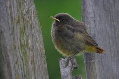 Baby Redstart Royalty Free Stock Photography