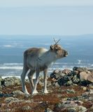 Baby Reindeer. In mountain tundra Royalty Free Stock Photo
