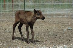 Baby reindeer. On experimental farm Stock Photo
