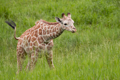 Baby Reticulated Giraffe. Captive, baby, reticulated giraffe eating grasses stock image