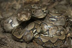 Baby Reticulated Python Python reticulatus. Bali locality in Indonesia royalty free stock photos