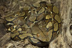 Baby Reticulated Python Python reticulatus. Bali locality in Indonesia stock photos