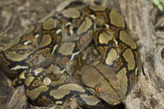 Baby Reticulated Python Python reticulatus. Bali locality in Indonesia stock photo
