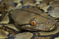 Baby Reticulated Python Python reticulatus. Bali locality in Indonesia royalty free stock photo