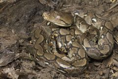 Baby Reticulated Python Python reticulatus. Bali locality in Indonesia royalty free stock photography