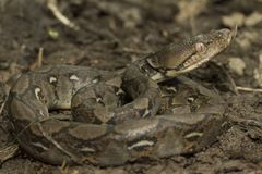 Baby Reticulated Python Python reticulatus. Bali locality in Indonesia stock photography