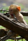 Baby rhesus macaque biting a branch Stock Photography