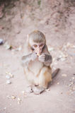 Baby rhesus macaque eating a peanut in Xichang forest Stock Photo