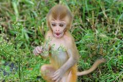 Baby rhesus macaque monkey Stock Photos