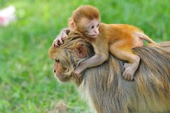 Baby rhesus macaque monkey in Kathmandu Royalty Free Stock Images