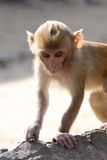 Baby rhesus macaque Stock Photography