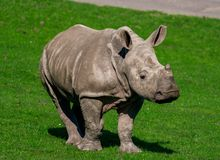 Rhinoceros calf, walking towards his mother stock photography
