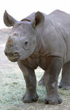 Baby Rhino Royalty Free Stock Photo