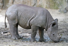Baby Rhino Stock Photo