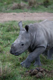 Baby rhino Royalty Free Stock Images