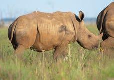 Baby rhino. Baby white rhino with complete horn stock photo