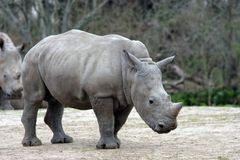 Baby Rhino. At the New Orleans Zoo royalty free stock photo