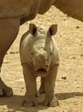 Baby Rhino. A Baby Rhino standing under his mums neck Royalty Free Stock Photo