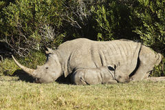 Baby Rhino in African bush. 3 week old baby Rhino in a south african field next to mother stock images